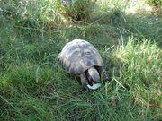 Griechische Landschildkröten Herm boettg Pärchen