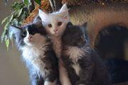 Wunderschöne Maine Coon Katzenkinder
