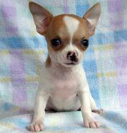 Suche Mini Teacup Chihuahua Mädchen