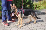 Schäferhund Junghunde