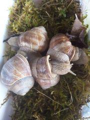 Weinbergschnecken Helix Pomatia 4 erwachsene