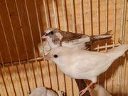 Japanische Mövchen Paar Prachtfinken