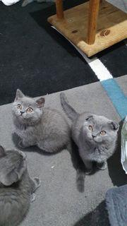 Bkh scotischfold Babykatze