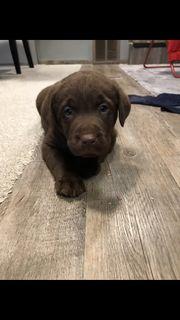 Wunderschöner Labrador Welpe