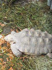Suche eine thb Schildkröte