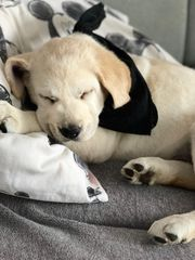 süße Labrador Retriever Welpen