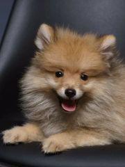 Pomeranian Welpen