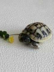 Griechische Landschildkröten THB von 2020