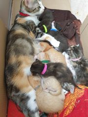 8 Siammix kitten