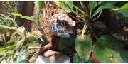 Sternschildkröte geochelone elegans NZ 2018
