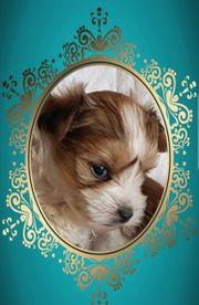 Yorkshire Terrier Welpen Chokoberry black-tan