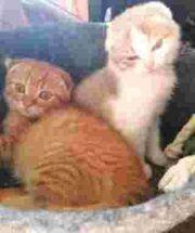 Traumhaft schöne BKH kitten an