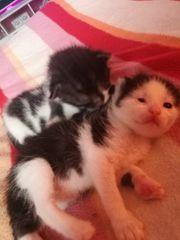 Babykatzen EKH