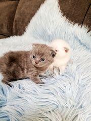 Wunderschöne reinrassige Bkh Kätzchen -Kitten