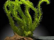 Wasserpflanze Wasserpest Elodea Versand möglich