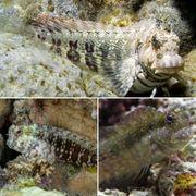 Meerwasser Algenblenny Salarias fasciatus
