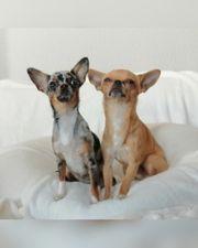 Chihuahua Welpen Wurfankündigung