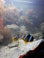 Meerwasser Rotmeeranemonenpärchen