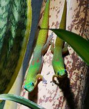 Phelsuma Laticauda Laticauda NZ 0