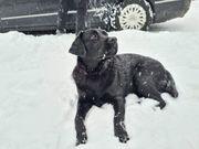 Labrador Retriever 2 Jahre alt