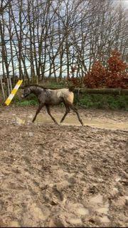Pferd Appaloosa Fohlen