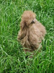 10 Große Seidenhühner mit Bart