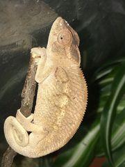 Chamäleon Weibchen