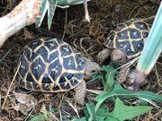Indische Sternschildkröten NZ 2019 und