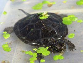Reptilien, Terraristik - Europäische Sumpfschildkröte - Emys orbicularis - Teichschildkröte -