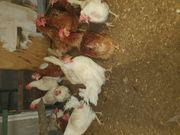 Legehühner