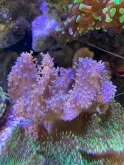 Ableger Meerwasseraquarium Zoa Echinata Gorgonie