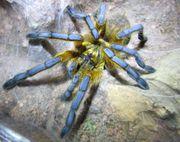 0 1 Vogelspinne Harpactira pulchripes