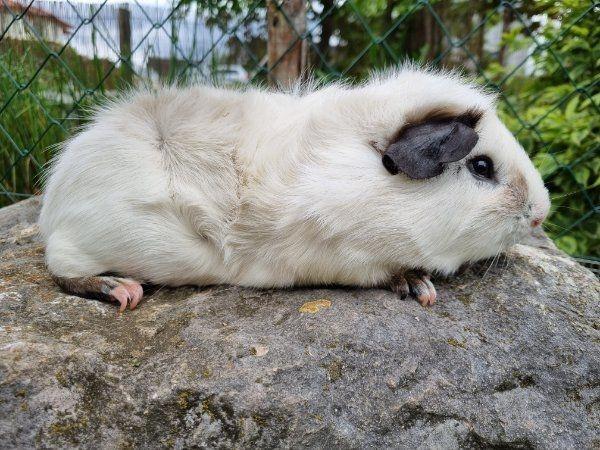 Riesenmeerschweinchen (Cuys) zu vergeben!