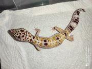 Leopardgecko Jungtier reserviert