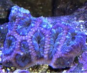 Meerwasser Korallen Acanastrea Milka SPS