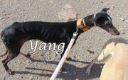 Galga Yang sucht ein Zuhause