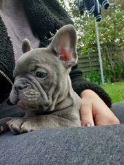 Französische Bulldoggen Welpen Rüden und