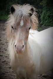 Mini Pferd Pony in Sonderfarbe