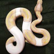 Königspython Banana Pied