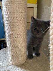 BKH Kitten 1 junge und