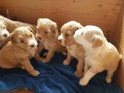 Wunderschöne goldige Tibet Terrier Welpen