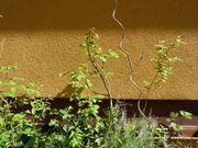 Walnussbaumpflanzen im Topf kleine und