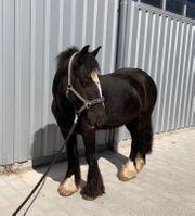 Pony Wallach zu verkaufen