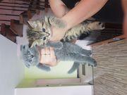 BKH Kätzchen zu verkaufen