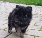Deutsche Zwergspitz Pomeranian Zucht seid