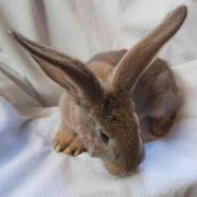 Deutsche Riesen - WO - Hase - Kaninchen
