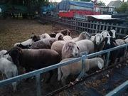 Schaf Herde Tiroler Bergschafe große