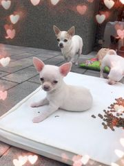 Chihuahua Welpen Rüde mit Ahnentafel