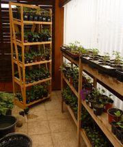Junge Pflanzen - Setzlinge- Tomaten Paprika