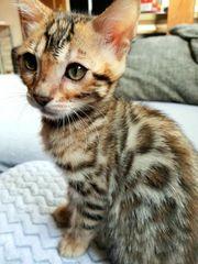 Bengalkatzen Kitten